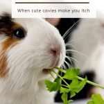 Guinea pig allergies: when cute cavies make you itch